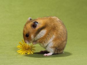 Hamster Mini