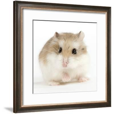 Hamster Roborovski--Framed Photographic Print