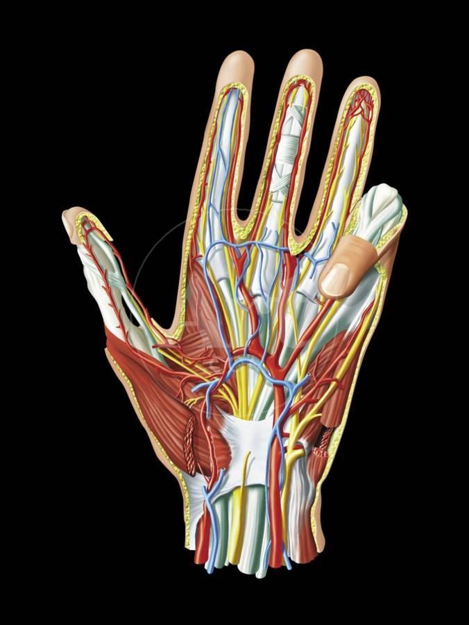 Hand Anatomy Artwork Photographic Print By Jose Antonio Art