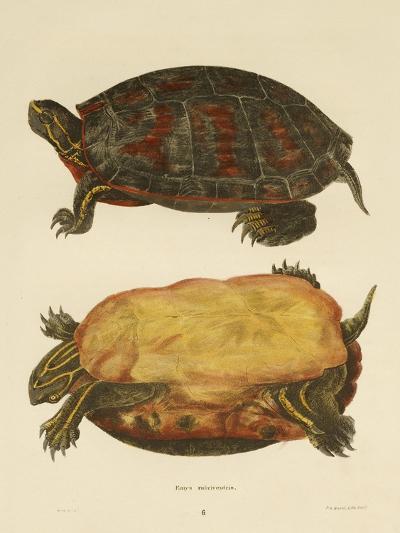 Hand Colored Lithograph of Emrys Rubriventris-John Edwards Holbrook-Giclee Print