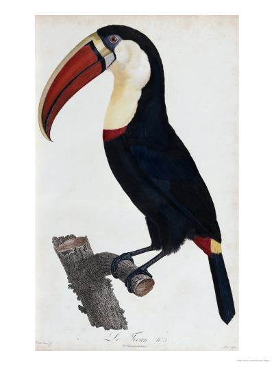 Hand Coloured Engraving of a Toucan, 1806-Francois Levaillant-Giclee Print