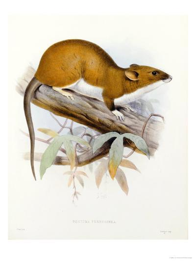 """Hand-Coloured Lithograph from """"Fauna, Flora and Archaeology of Central America""""-J. G. Keulemans-Giclee Print"""