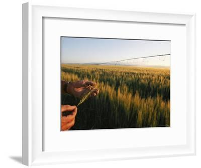 Hands Hold a Seed Head from a Wheat Plant-Michael S^ Lewis-Framed Photographic Print
