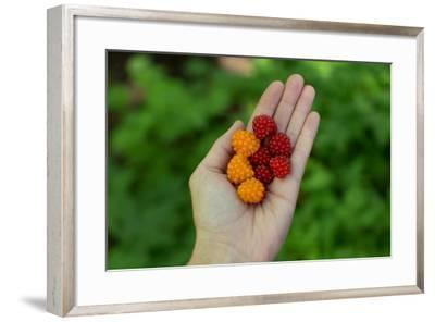Handul of Ripe Multi-Colored Salmonberries, Rubus Spectabilis-Erika Skogg-Framed Photographic Print
