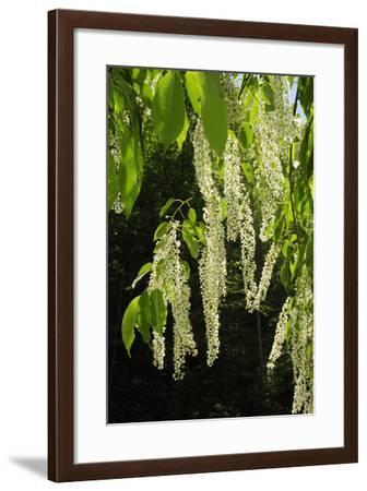 Hanging Inflorescences of a Prunus Species Tree in Spring-Darlyne A^ Murawski-Framed Photographic Print