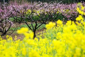 Pink Peach Flowers with Yellow Oilseed Rape Blossom. by hanhanpeggy