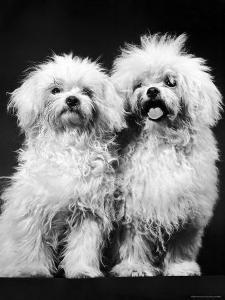 Tibetan Terrier Dogs by Hank Walker
