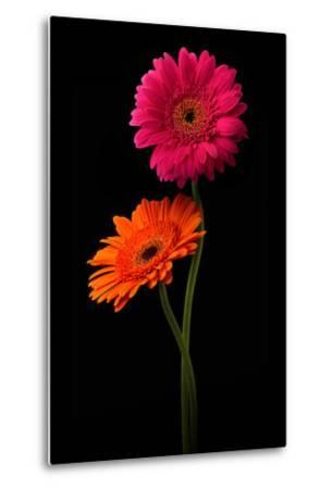 Pink, Orange Gerbera with Stem Isolated on Black