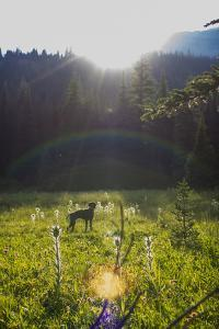 A German Shorthaired Pointer Dog Runs Around A Mountain Meadow In Montana's Bob Marshall Wilderness by Hannah Dewey