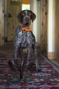 A Humorous Photo Of A German Shorthaired Pointer Wearing A Pair Of Mens Boots by Hannah Dewey