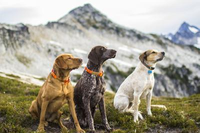 Three Dogs Sit On Top Of A Mountain In North Cascades National Park, Wa