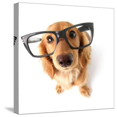 Funny Little Dachshund Wearing Glasses Distorted By Wide Angle Closeup. Focus On The Eyes