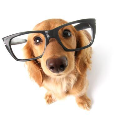 Funny Little Dachshund Wearing Glasses Distorted By Wide Angle Closeup. Focus On The Eyes by Hannamariah