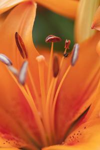Close Up of an Orange Lily, Lilium Species, of the Marco Polo Variety by Hannele Lahti