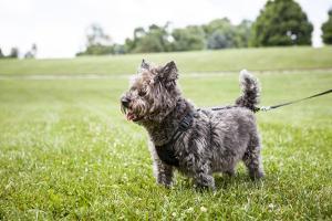 Portrait of a Cairn Terrier on a Leash in a Field by Hannele Lahti