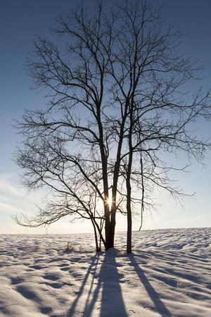 Winter Scene of the Setting Sun Shining Thru the Fork of a Leafless Tree in a Snow Covered Field
