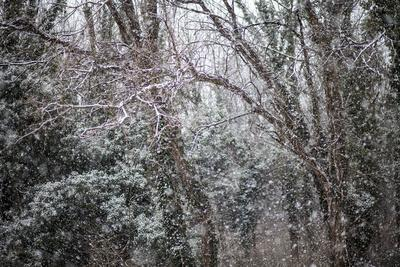 Wintry Scene of Falling Snow Covering Evergreen and Leafless Trees