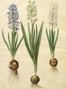 Hyacinthoides Orientalis from the Album Gottorfer Codex, c.1650 by Hans Simon Holtzbecher
