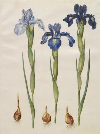 Iris xiphiodes From The Album Gottorfer Codex, c.1650