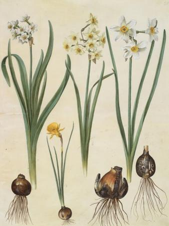 Narcissus Tazetta, Narcissus Orientalis & Corbularia Bulbocodium From Album Gottorfer Codex, c.1650 by Hans Simon Holtzbecher