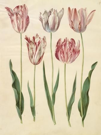 Tulipa Gesneriana From The Album Gottorfer Codex, c.1650