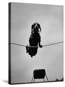A Dachshund in Training by Hansel Mieth