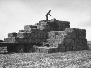 Baled Alfalfa in Large Stacks on Truck and on Ground in Imperial Valley by Hansel Mieth