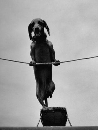 Dachshund in Training by Hansel Mieth