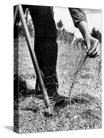 Man Planting Pine Tree Seedlings