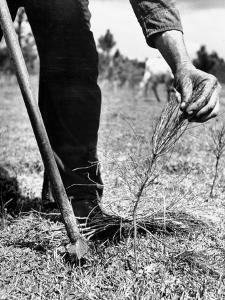 Man Planting Pine Tree Seedlings by Hansel Mieth