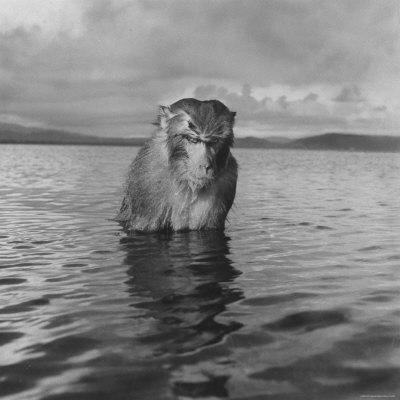 Rhesus Monkey Sitting in Water Up to His Chest