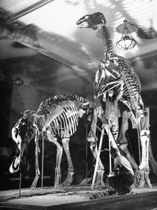 Skeletons of Dinosaurs Being Displayed at the American Museum of Natural History by Hansel Mieth