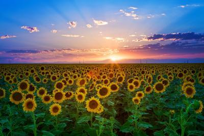 Sunflower by Hansrico Photography