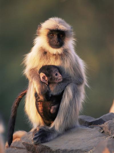 Hanuman Langur Adult Caring for Young, Thar Desert, Rajasthan, India-Jean-pierre Zwaenepoel-Photographic Print
