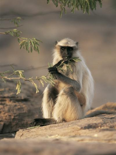 Hanuman Langur Juvenile Feeding on Acacia Leaves, Thar Desert, Rajasthan, India-Jean-pierre Zwaenepoel-Photographic Print