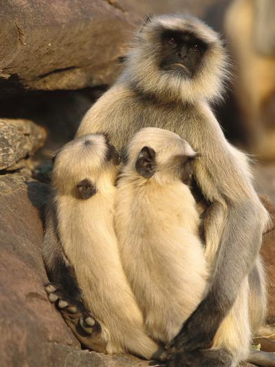Hanuman or Grey or Common Langur (Semnopithecus Entellus) Mother Nursing Twins-Cyril Ruoso-Photographic Print