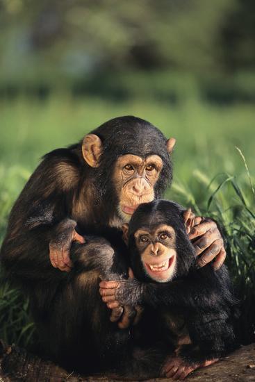 Happy Chimpanzee Family-DLILLC-Photographic Print