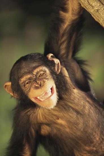 Happy Chimpanzee-DLILLC-Photographic Print