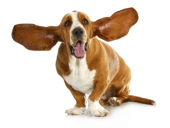 Happy Dog - Basset Hound With Ears Up-Willee Cole-Photographic Print