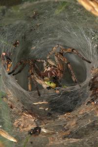 Agelena Labyrinthica, Funnel-Web Spider, Den, Prey, Grasshopper by Harald Kroiss