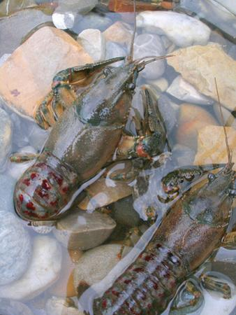 American Crayfish, Two, Gravel