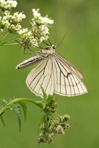 Black-Veined Moth, Side View by Harald Kroiss