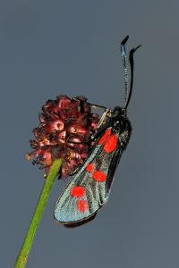 Burnet Moth, Adder's Wort by Harald Kroiss