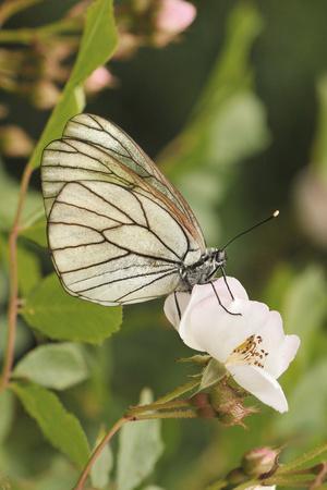 Butterfly, Black-Veined White on Wild Rose