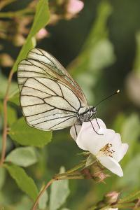 Butterfly, Black-Veined White on Wild Rose by Harald Kroiss