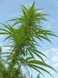 Cannabis Plant, from Below, Blue Sky by Harald Kroiss