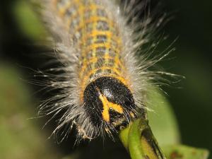 Caterpillar, Buff-Tip by Harald Kroiss