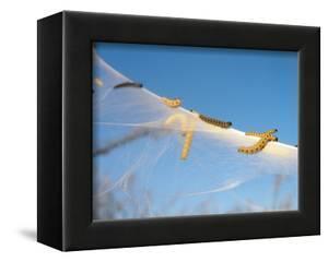 Caterpillars of the Bird-Cherry Ermine, Sky by Harald Kroiss