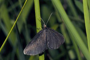 Chimney Sweeper on Blade of Grass by Harald Kroiss