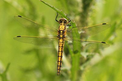 Clubtail Dragonfly on Plant